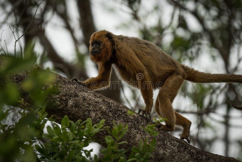 Mono de chillón negro que camina encima de rama de árbol foto de archivo libre de regalías