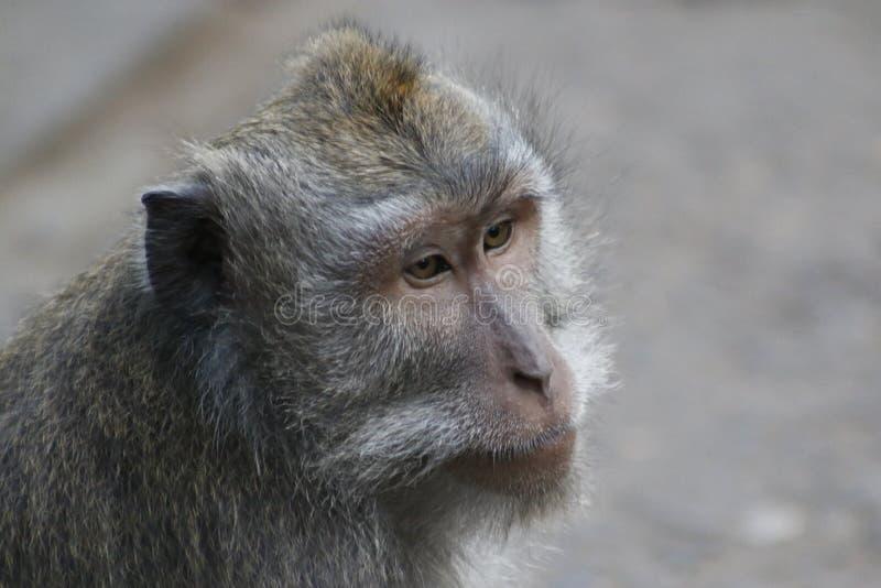 Mono de cola larga del Balinese imagen de archivo