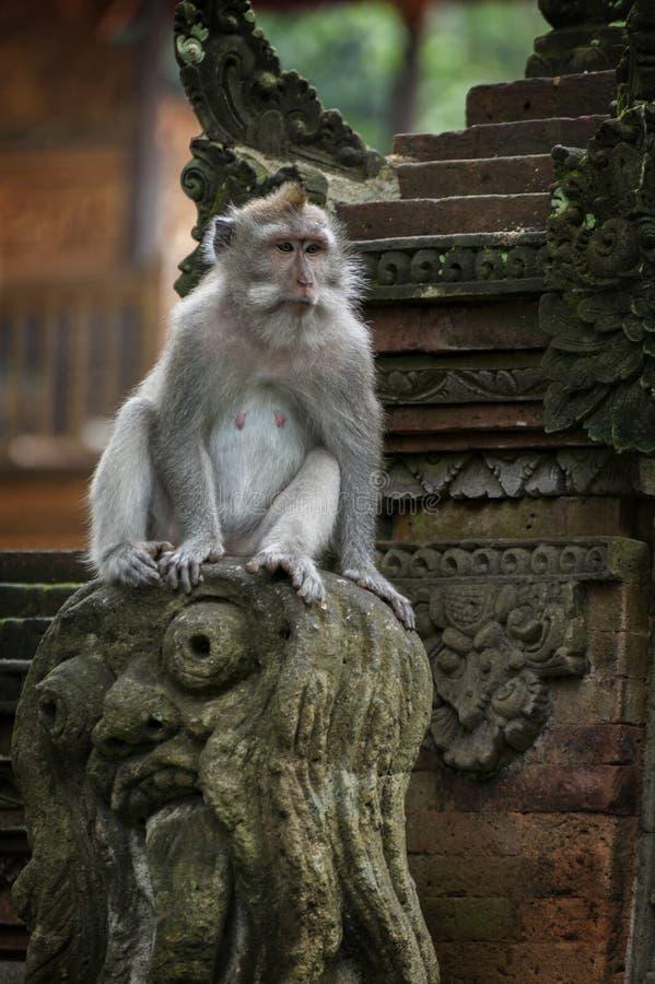 Mono de cola larga del Balinese fotografía de archivo