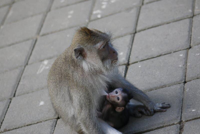 Mono de cola larga del bebé del Balinese y su mamá foto de archivo