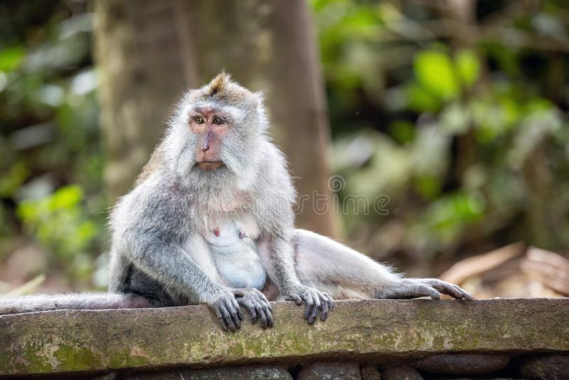 Mono de cola larga en bosque sagrado del mono foto de archivo