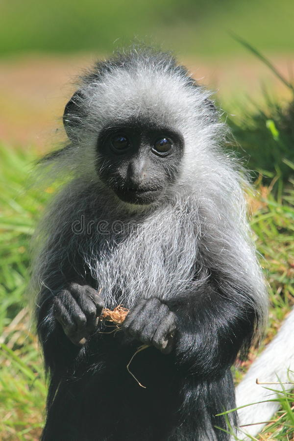 Mono de colobus del rey imagen de archivo libre de regalías