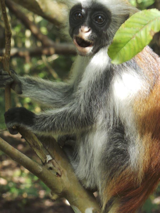 Mono de colobus rojo en el bosque de Jozani fotografía de archivo libre de regalías