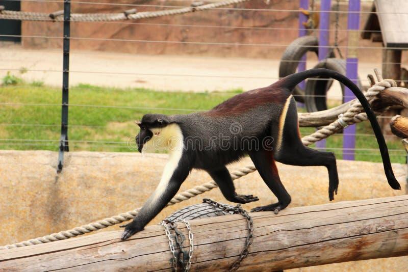Mono de Diana del› del ¼ del dianaï del Cercopithecus foto de archivo