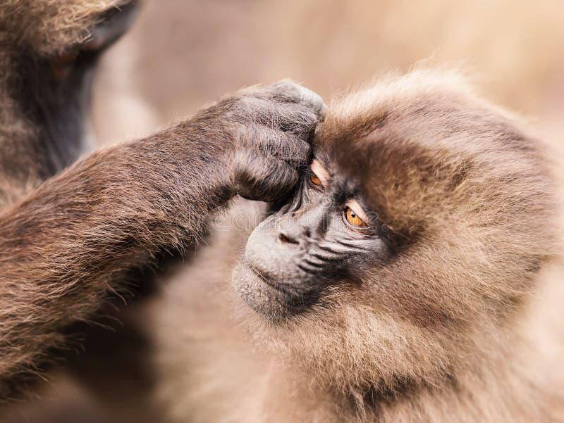 Mono de Gelada de la madre que prepara a su bebé fotos de archivo libres de regalías