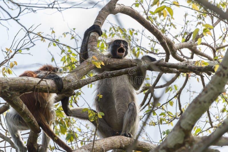 Mono de la isla de Zanzíbar fotos de archivo