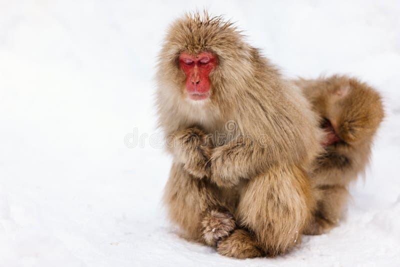 Mono de la nieve imagen de archivo libre de regalías