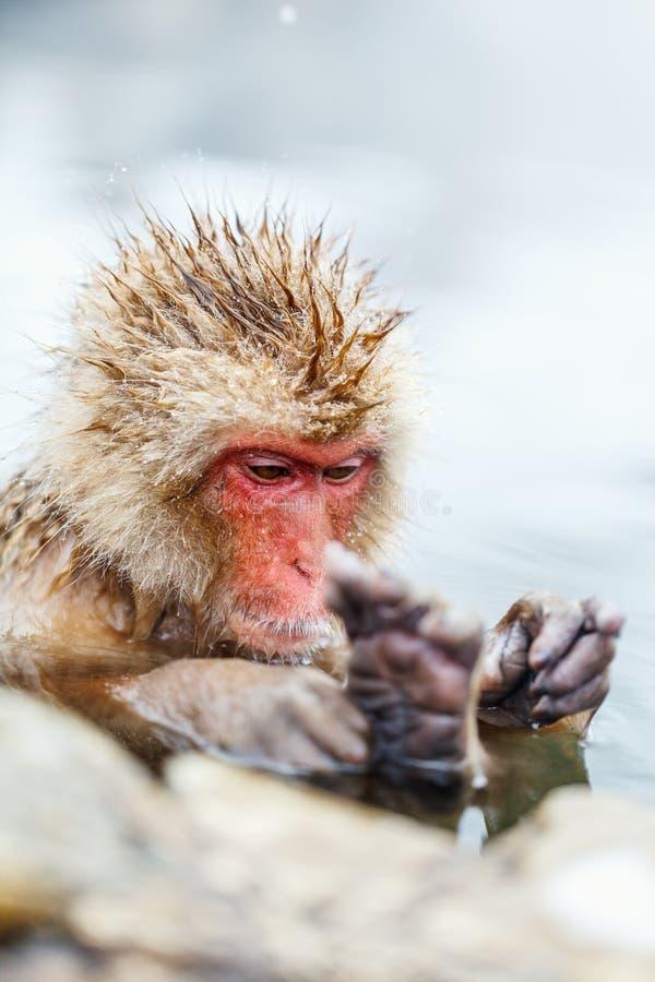 Mono de la nieve imagenes de archivo