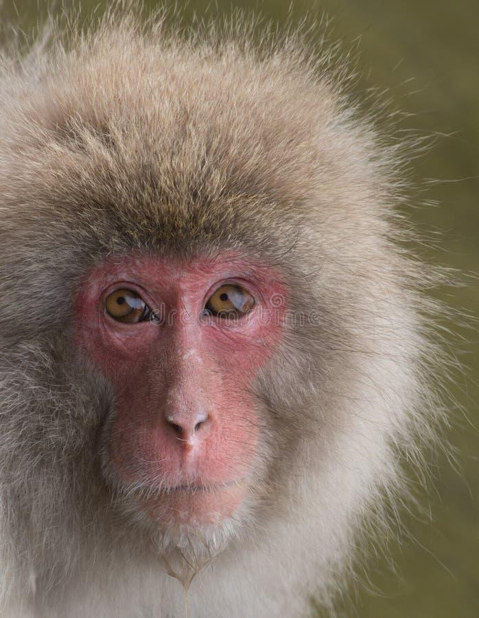 Mono de la nieve con el goteo del agua de Chin imágenes de archivo libres de regalías
