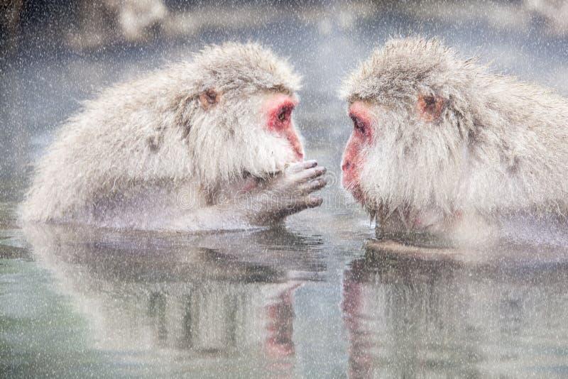 Mono de la nieve en el borde de la piscina Onsen de las aguas termales en Jigoku imágenes de archivo libres de regalías