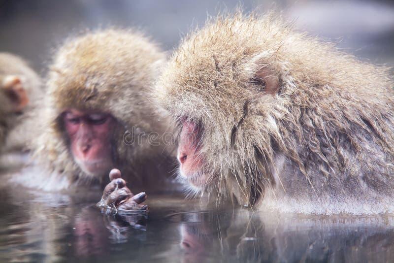 Mono de la nieve en el borde de la piscina Onsen de las aguas termales en Jigoku imagenes de archivo