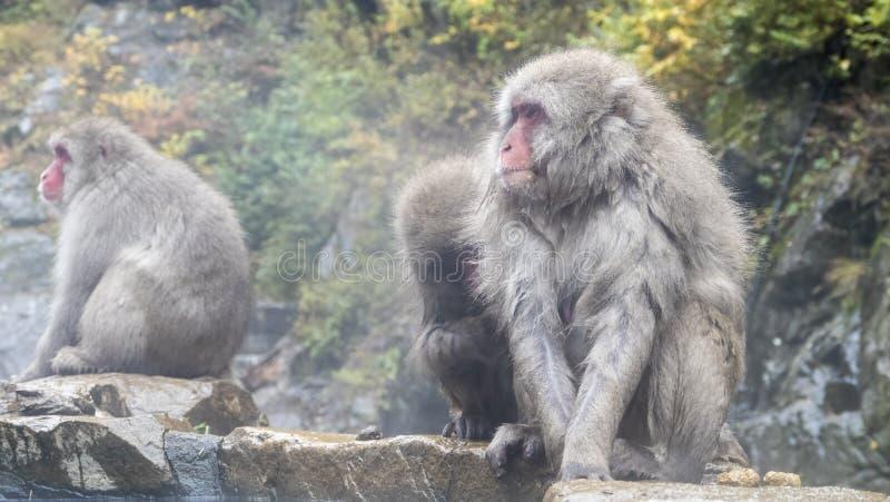 Mono de la nieve en fuente termal en la temporada de otoño fotografía de archivo libre de regalías
