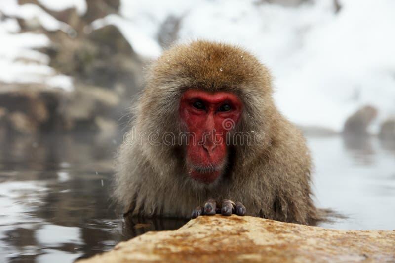 Mono de la nieve, macaque que se baña en las aguas termales, prefectura de Nagano, Japón imagen de archivo libre de regalías