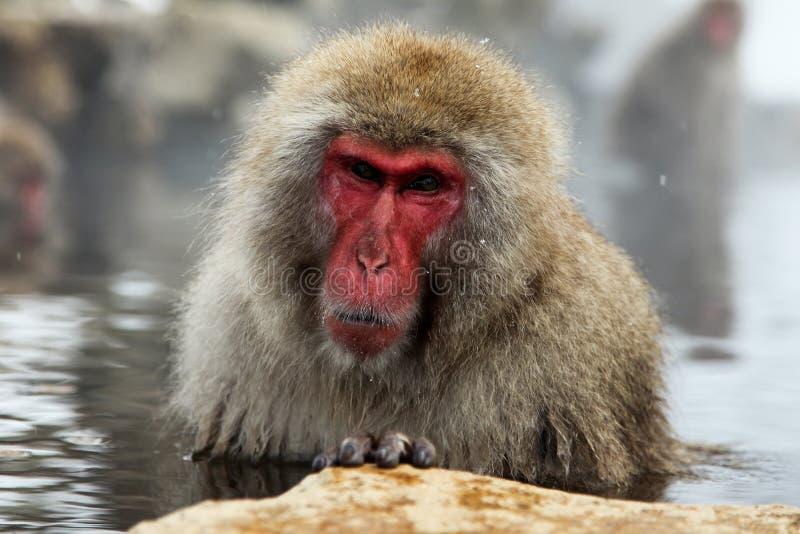Mono de la nieve, macaque que se baña en las aguas termales, prefectura de Nagano, Japón fotografía de archivo
