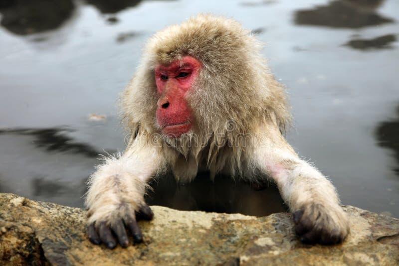 Mono de la nieve, macaque que se baña en las aguas termales, prefectura de Nagano, Japón imagenes de archivo