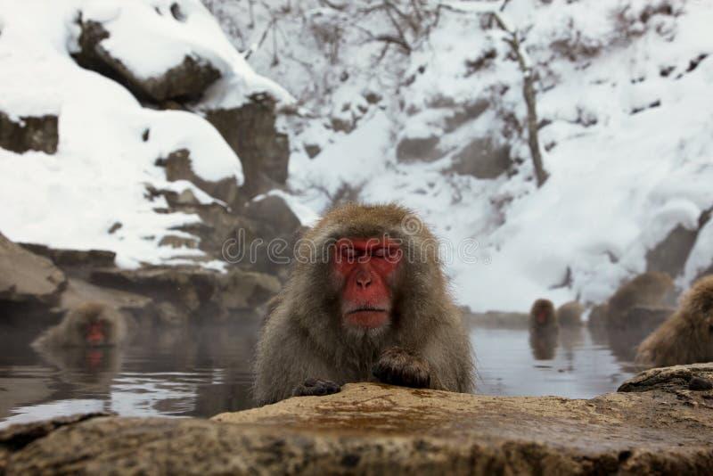 Mono de la nieve, macaque que se baña en las aguas termales, prefectura de Nagano, Japón fotos de archivo libres de regalías