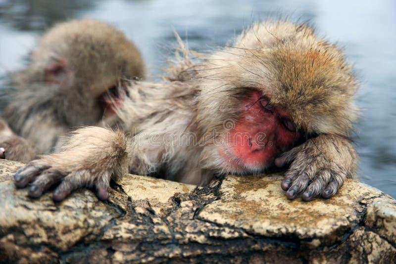Mono de la nieve, macaque que se baña en las aguas termales, prefectura de Nagano, Japón fotos de archivo