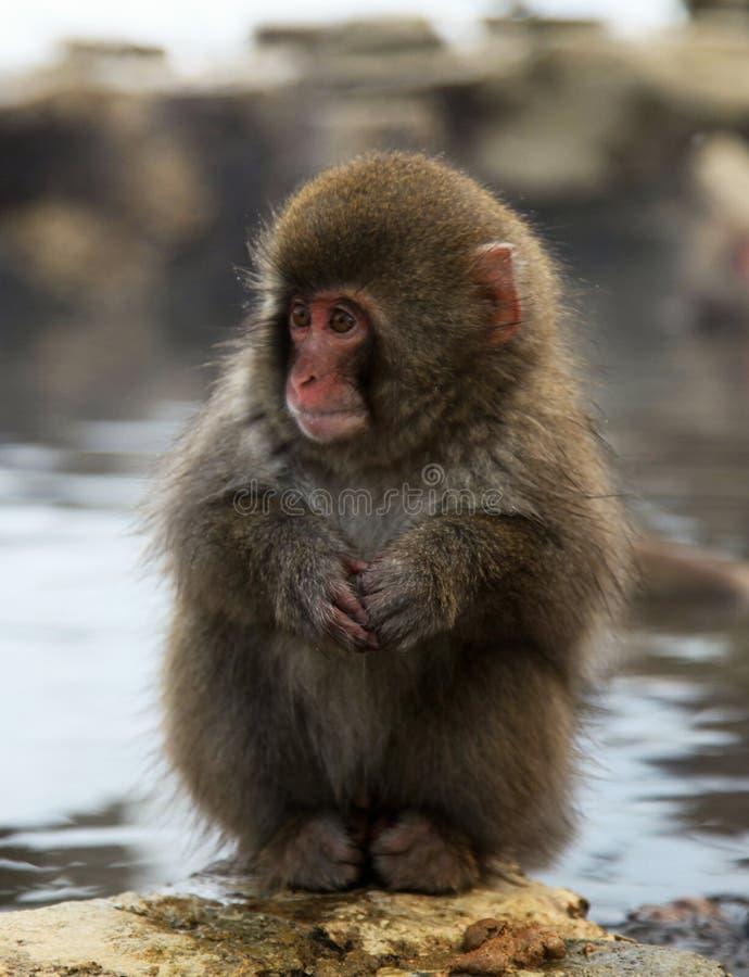 Mono de la nieve, macaque que se baña en las aguas termales, prefectura de Nagano, Japón foto de archivo