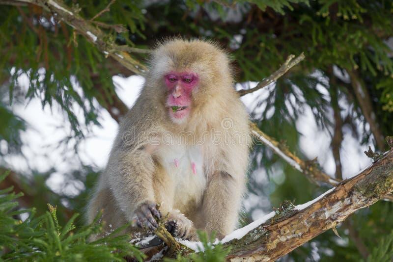 Mono de la nieve que mordisca en las hojas en árbol fotografía de archivo libre de regalías