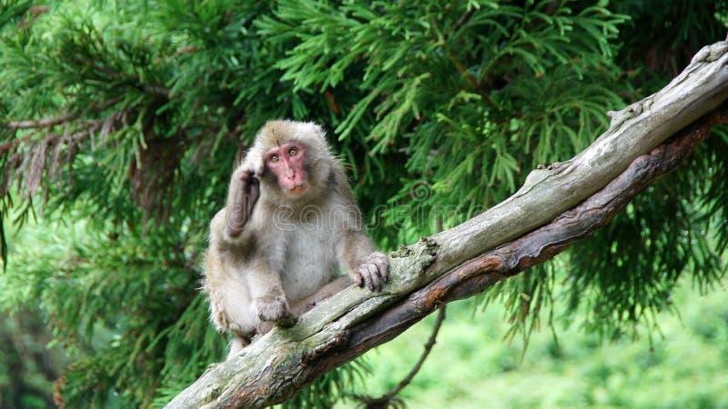 Mono de la nieve que rasguña detrás de los oídos en Jigokudani, Japón imágenes de archivo libres de regalías