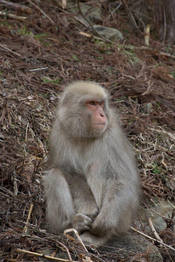 Mono de la nieve que se sostiene sobre sus dedos del pie fotos de archivo libres de regalías