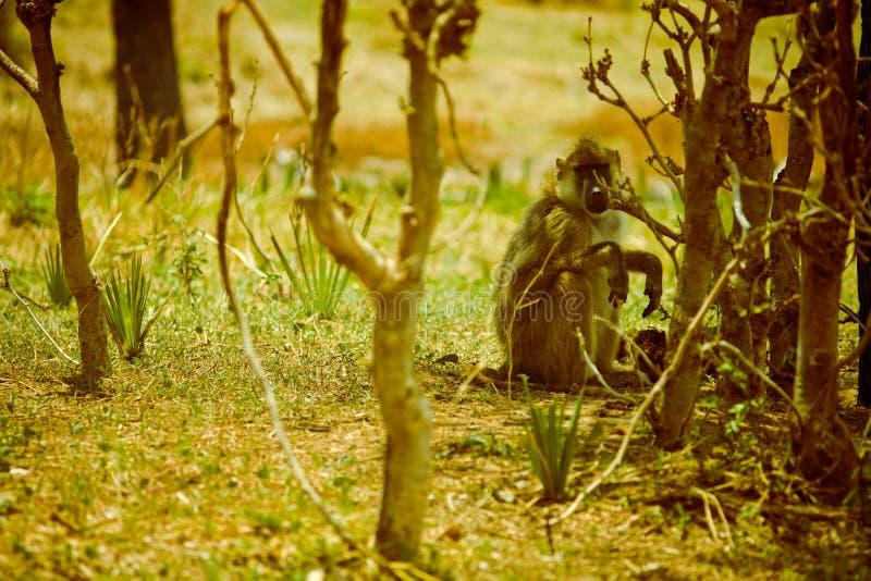 Mono de la sabana foto de archivo libre de regalías