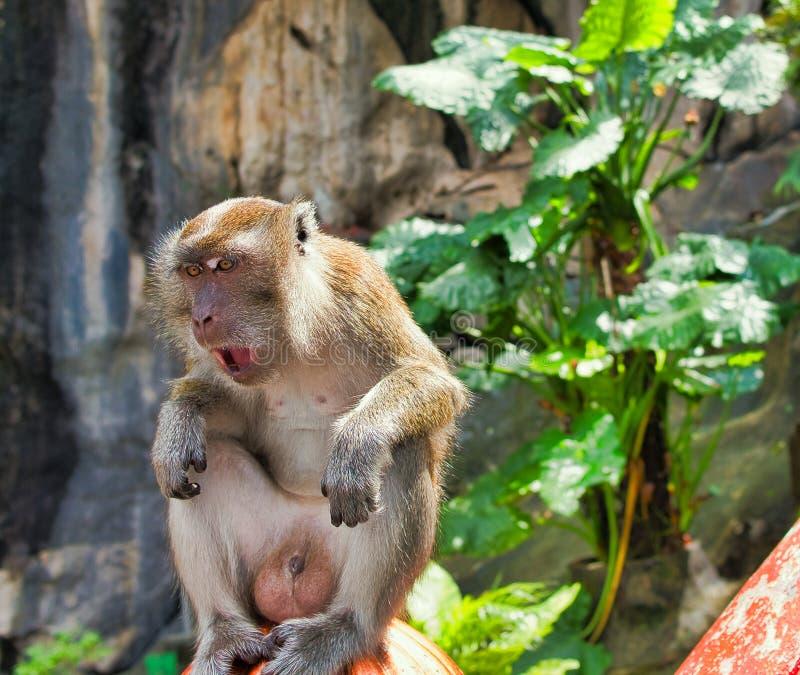 Mono de las cuevas del batu fotos de archivo libres de regalías