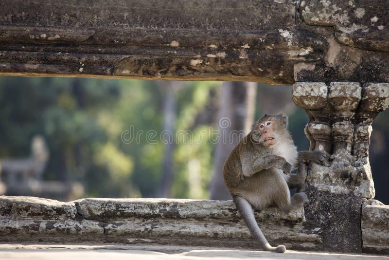 Mono de Macaque de cola larga que se sienta en ruinas antiguas de Angkor Wa fotografía de archivo libre de regalías