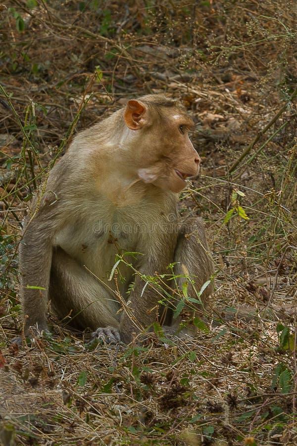 Mono de Macaque femenino de capo fotografía de archivo libre de regalías
