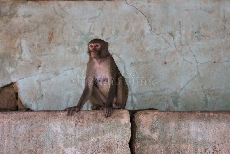 Mono de Macaque que se sienta en la pared rosada en Myanmar imagen de archivo
