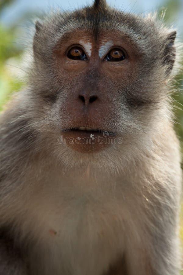 Mono de Macaque salvaje imagen de archivo libre de regalías
