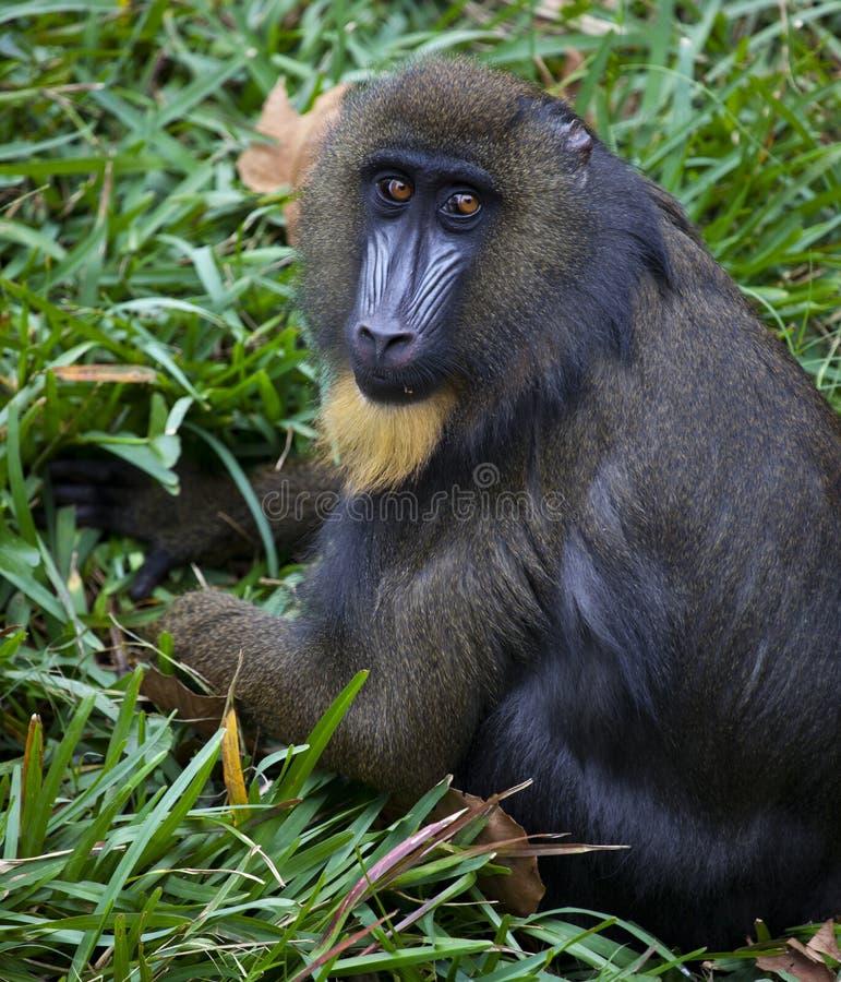 Mono de Mandrill imagen de archivo libre de regalías