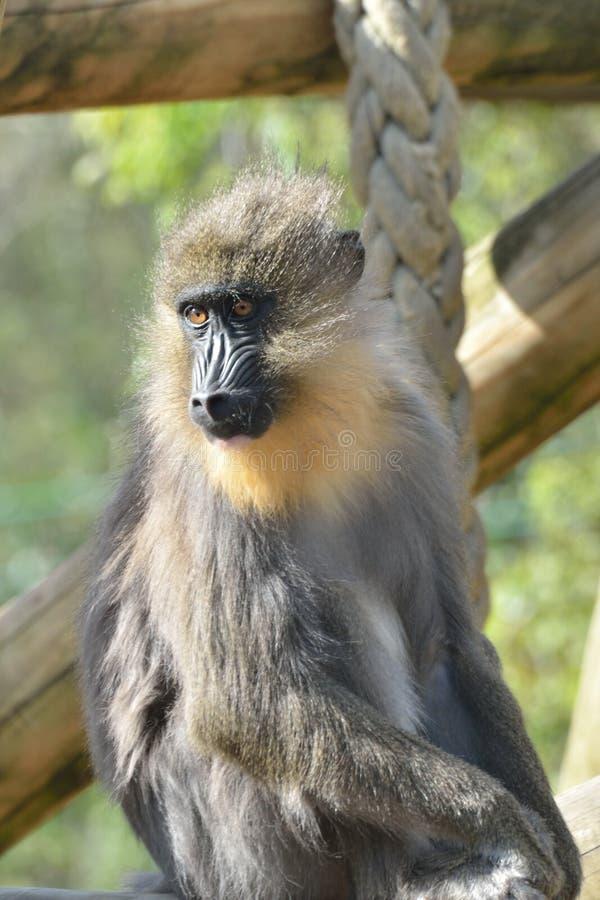 Mono de Mandrill imágenes de archivo libres de regalías