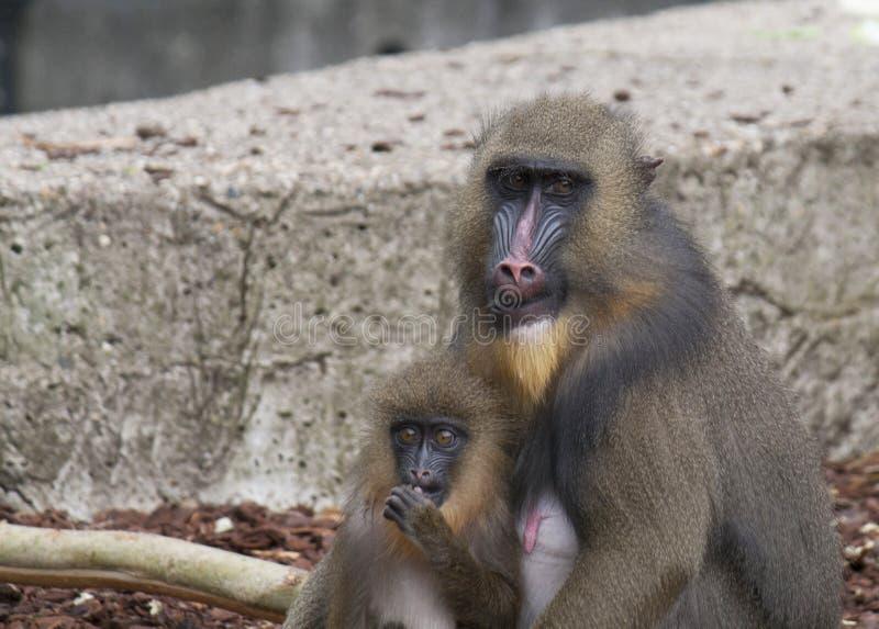 Mono de Mandrill con los jóvenes fotografía de archivo