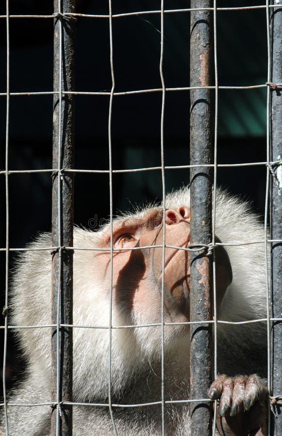 Mono de Mandrill detrás de las barras que miran para arriba fotografía de archivo libre de regalías