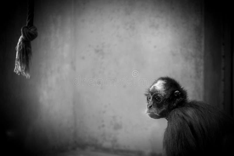 Mono de mirada triste en una jaula foto de archivo libre de regalías