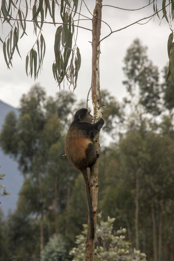 Mono de oro en peligro en los volcanes parque nacional, Rwanda del árbol imagenes de archivo