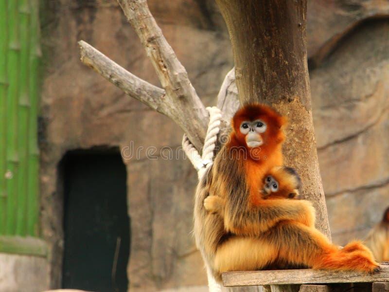Mono de oro; madre y bebé imagen de archivo