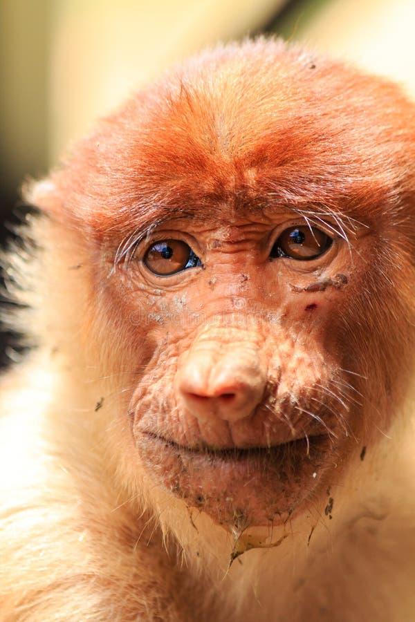 Mono de probóscide de mirada sucio foto de archivo libre de regalías
