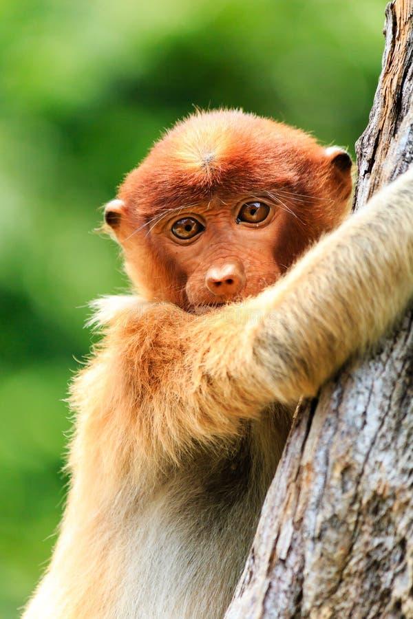 Mono de probóscide del bebé que se aferra en un árbol foto de archivo libre de regalías