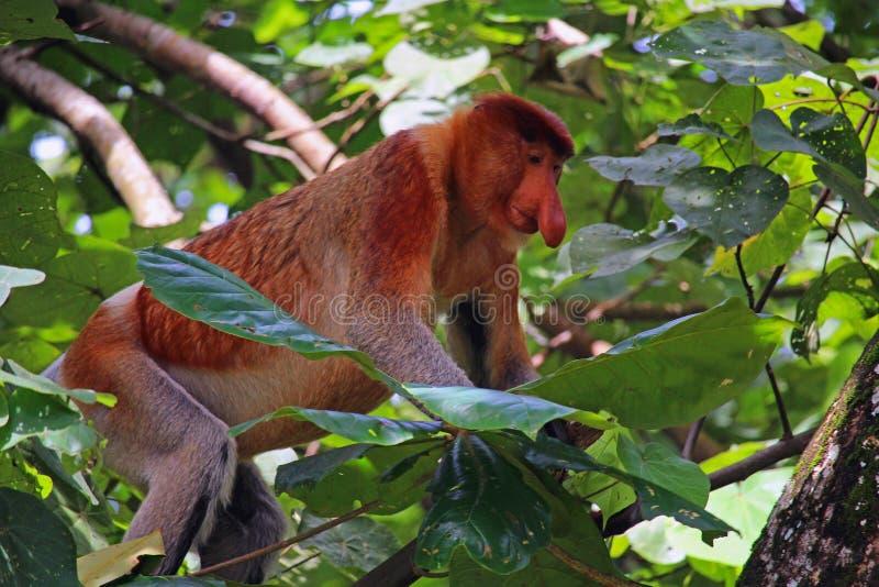 Mono de probóscide extraño foto de archivo libre de regalías