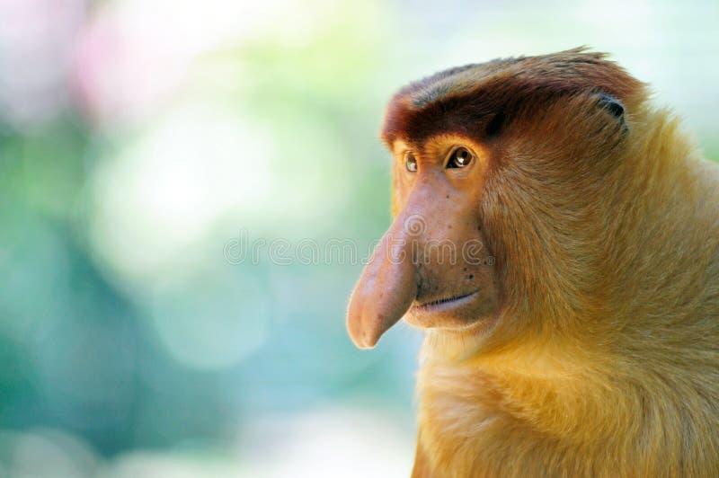 Mono de probóscide masculino imágenes de archivo libres de regalías