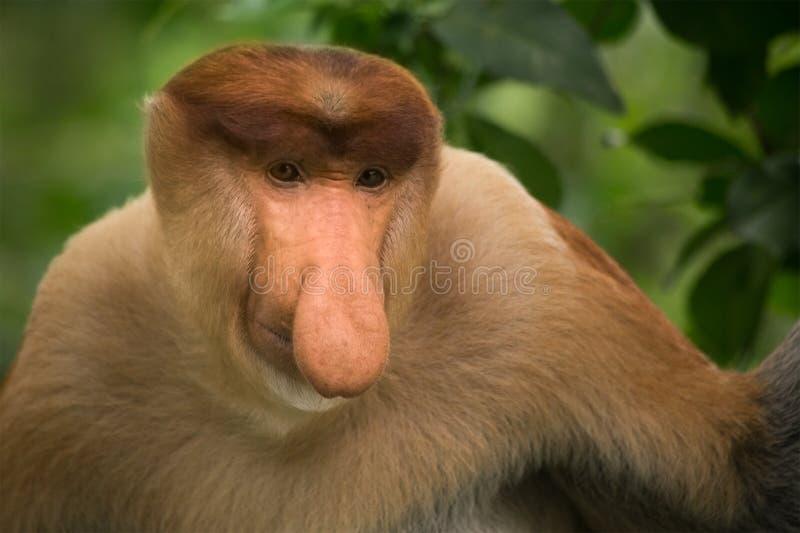 Mono de probóscide - Sandakan, Borneo, Malasia imagen de archivo libre de regalías