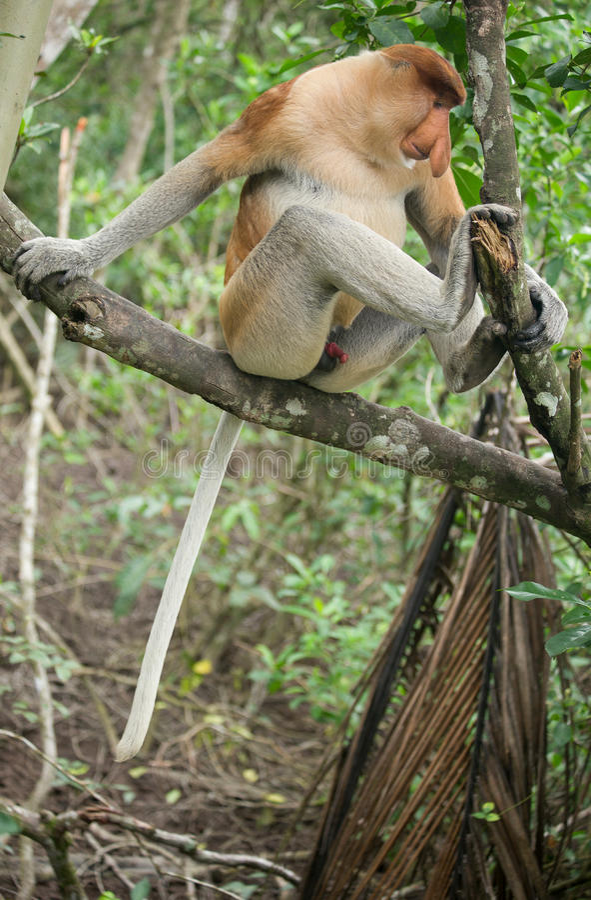 Mono de probóscide - Sandakan, Borneo, Malasia imagenes de archivo
