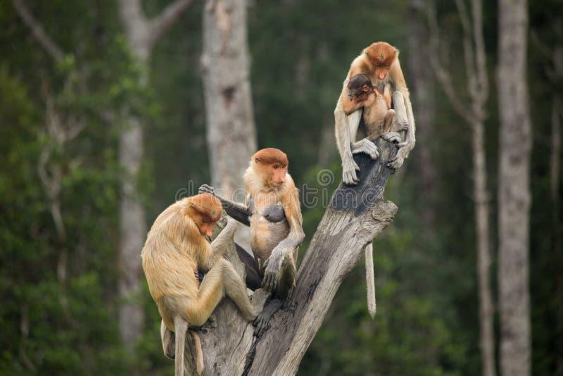 Mono de probóscide - Sandakan, Borneo, Malasia foto de archivo libre de regalías