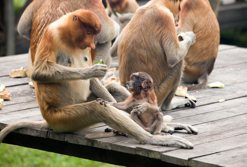 Mono de probóscide - Sandakan, Borneo, Malasia fotografía de archivo libre de regalías