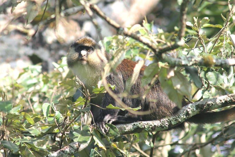 Mono de Rwanda imagen de archivo