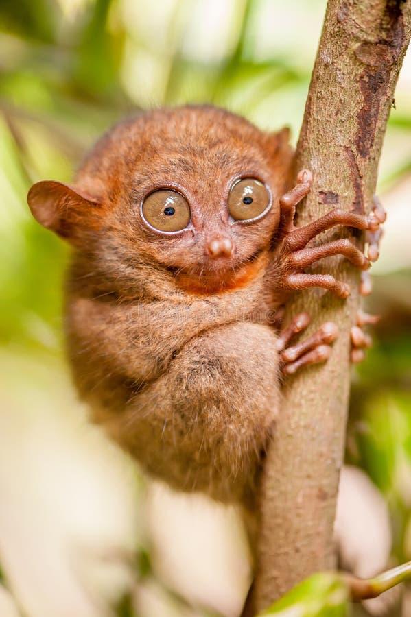 Mono de Tarsier en el ambiente natural imagen de archivo libre de regalías