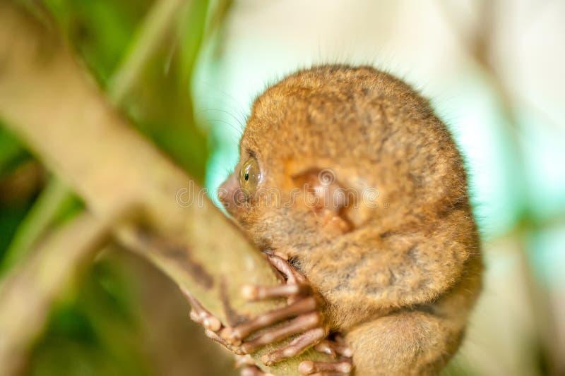 Mono de Tarsier en el ambiente natural imagen de archivo