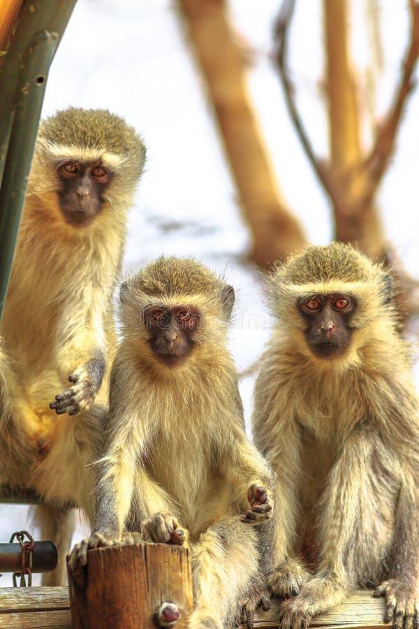 Mono de tres Vervet fotografía de archivo